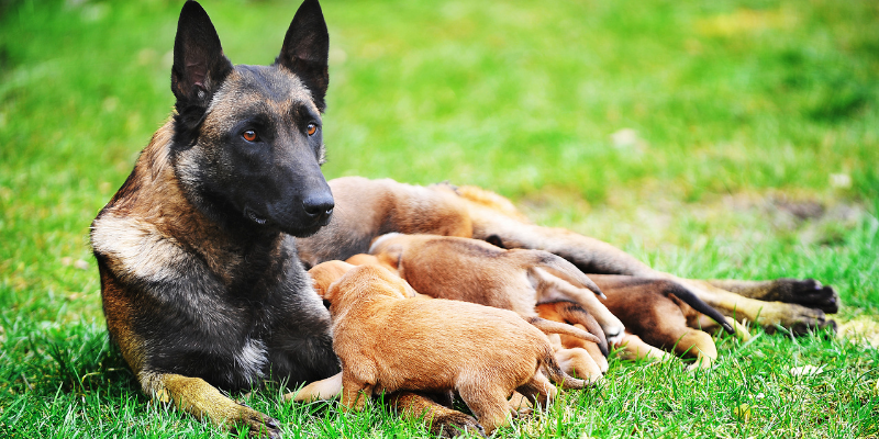 dog food for pregnant dogs