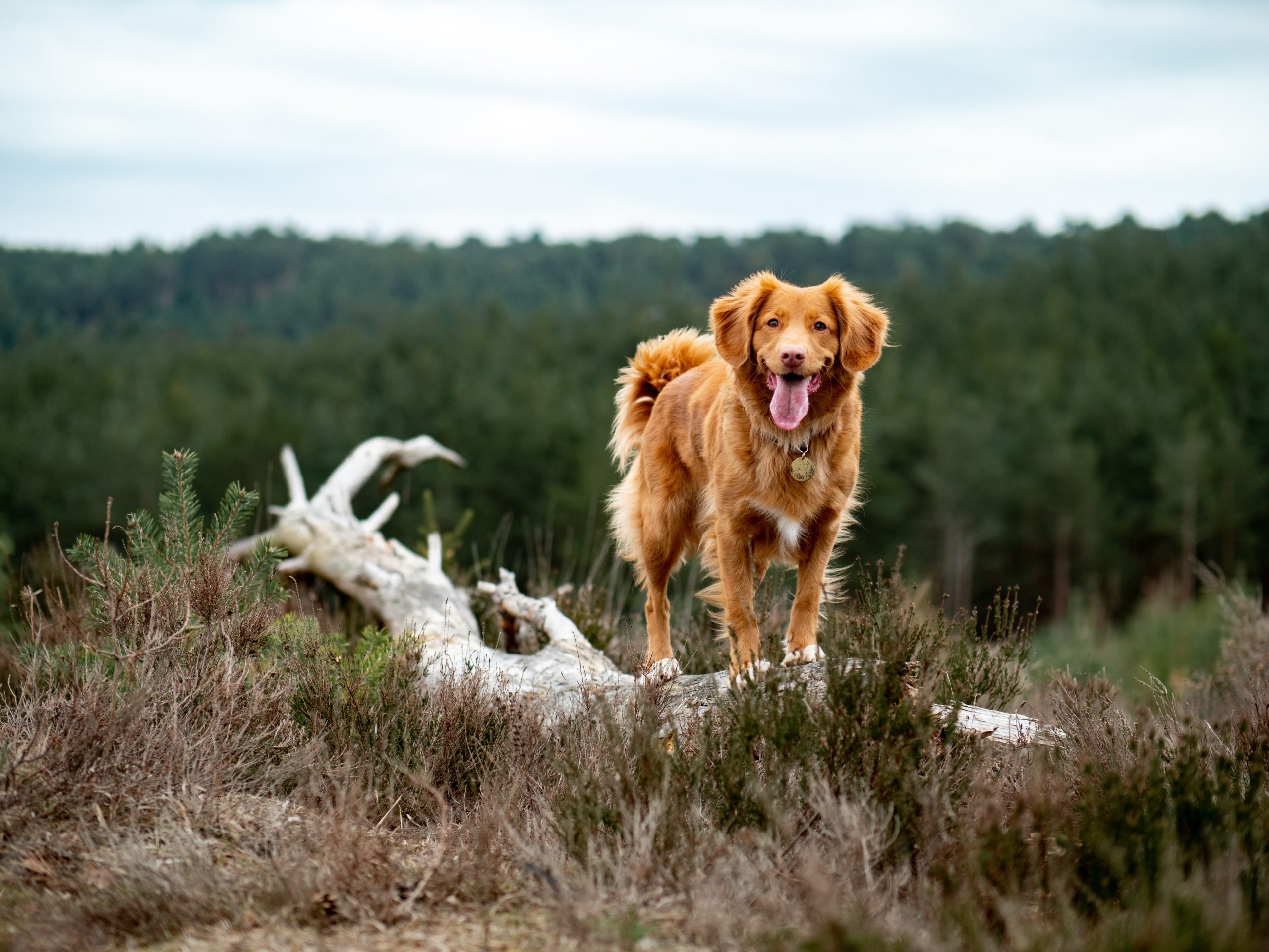 brown hunting dog standing on a tree trunk