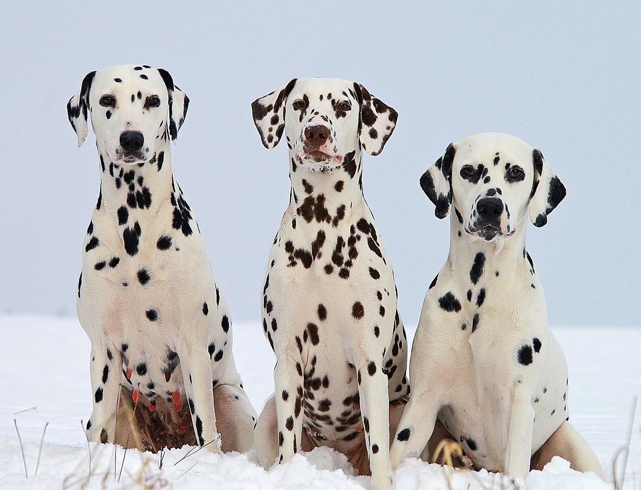 3 dalamatians sitting on a snowy land