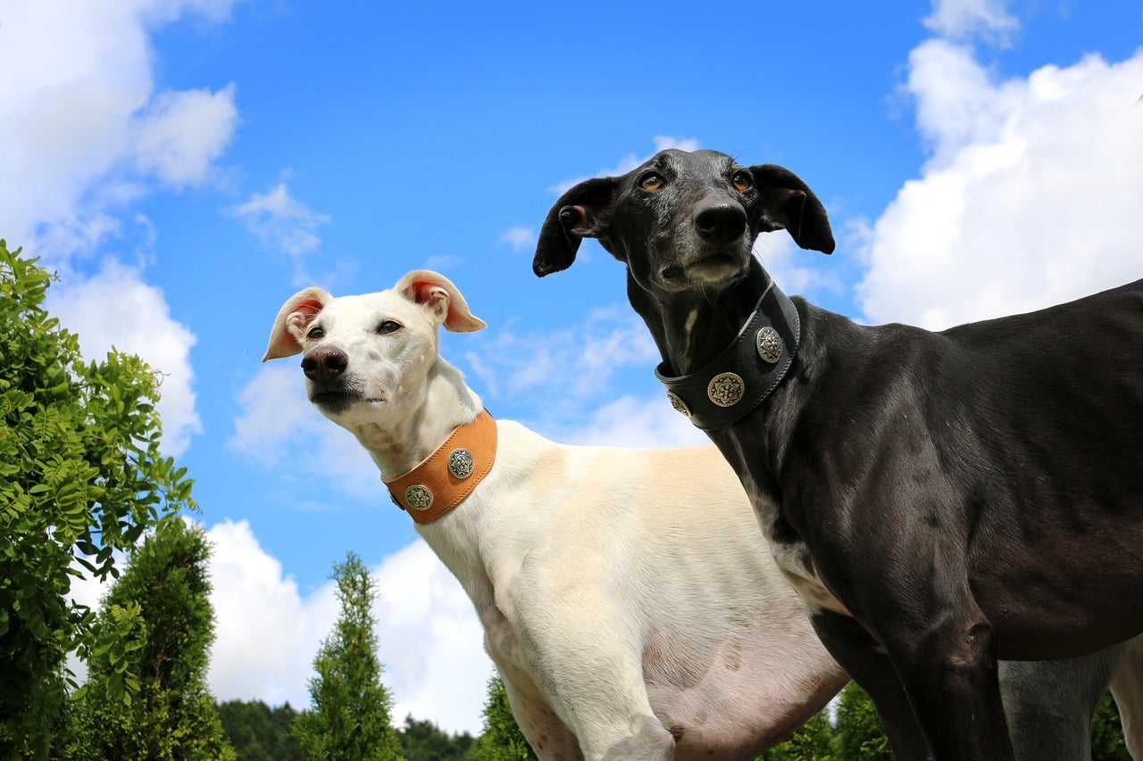 black and white greyhounds