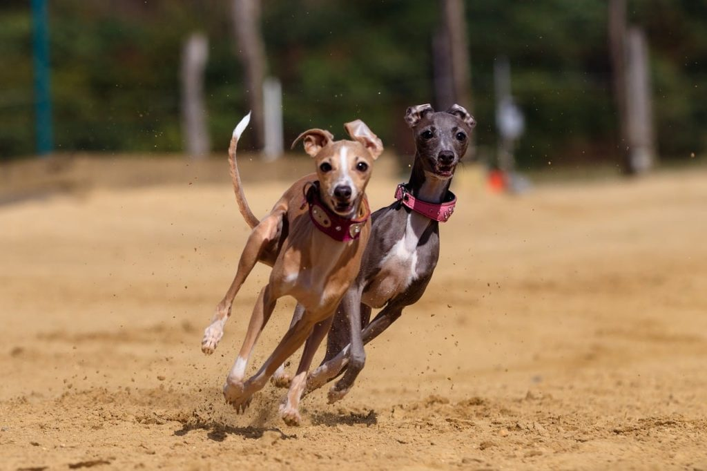 greyhound dogs running