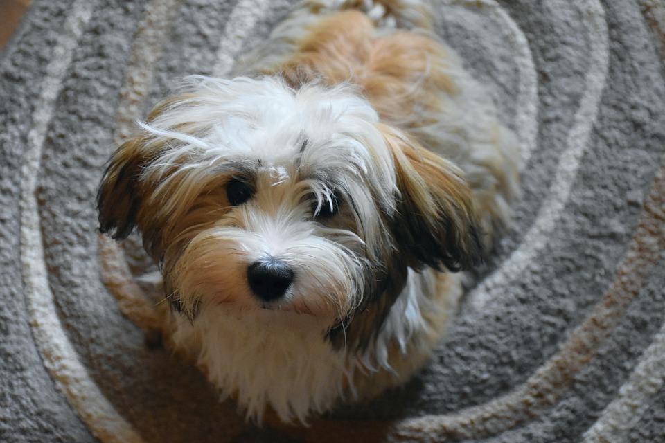 cute havanese dog