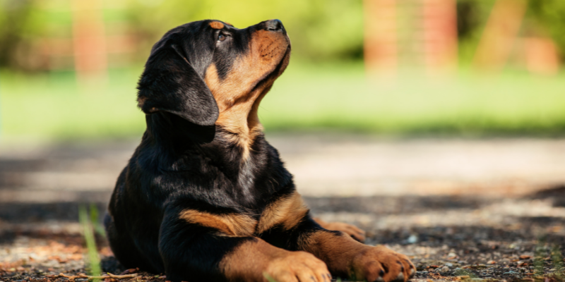 best food for rottweiler puppy