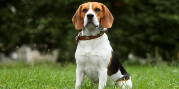 best food for beagles